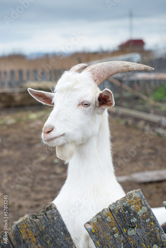 Goat close-up on the farm