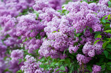 Fototapety Branch of lilac flowers