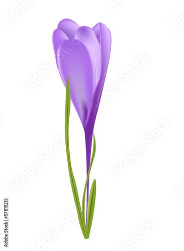 Vector illustration of crocus flower - 57815213