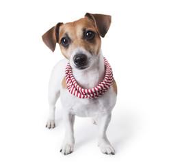 dog with a stylish accessory striped scarf
