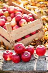 Fresh organic red apples from autumn harvest at local farm