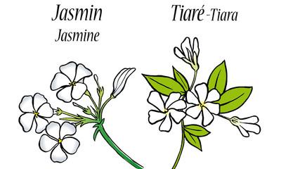 Jasmin - Tiaré