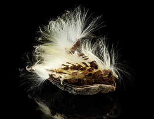 Macro photo of swamp milkweed seed pod