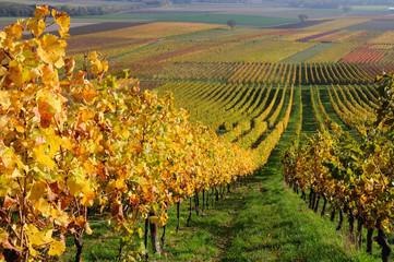 Autumn vineyard landscape in Rhine Valley, Germany