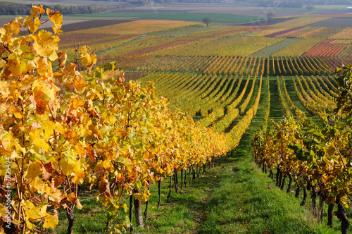 canvas print picture Autumn vineyard landscape in Rhine Valley, Germany