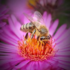 The Honey bee (Apis mellifera) pollinating of New York aster.