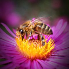The Honey bee (Apis mellifera) pollinating  of New York aster.