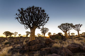 Quiver Tree in the Sunset Light, Namibia