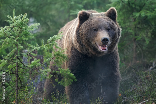 canvas print picture Bear