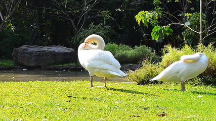Two White Duck Cleaning Feathers