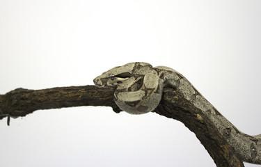 Boa Constrictor Snake