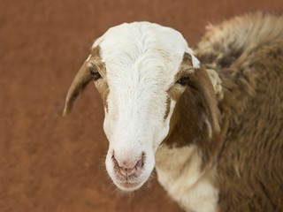 African goat 4 - valerie barry
