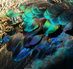 Kolorowy Paw pierze
