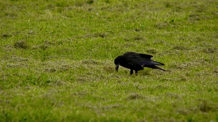 Crow on a field searching for insects and worms.