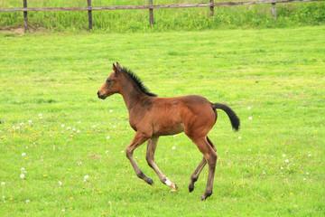 走る馬の赤ちゃん