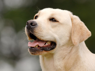 Labrador head