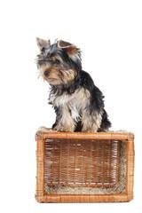 Yorkshire terrier on the baske