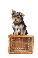 Yorkshire terrier on the baske