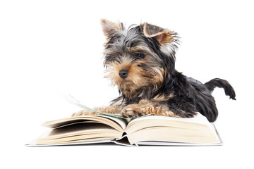 Yorkshire Terrier with a book isolated on a white background