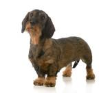 dachshund standing