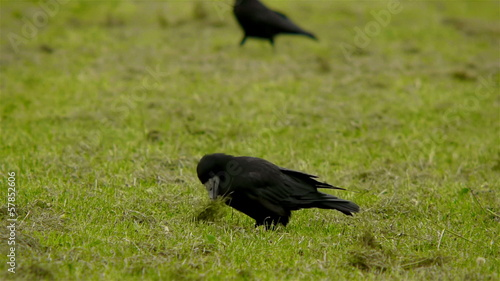 Crows on a field searching for insects and worms.
