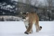 Puma or Mountain lion, Puma concolor