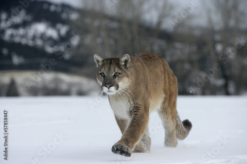 Foto op Plexiglas Puma Puma or Mountain lion, Puma concolor