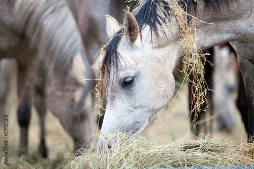 Herd of horses eating hay.