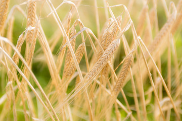 Yellow wheat ears in the field