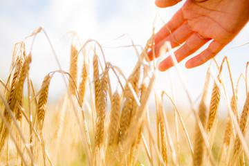 Hand touching wheat ears