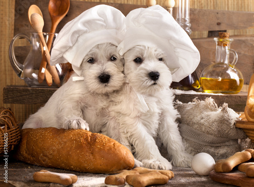 Miniature Schnauzer  in chef's hat