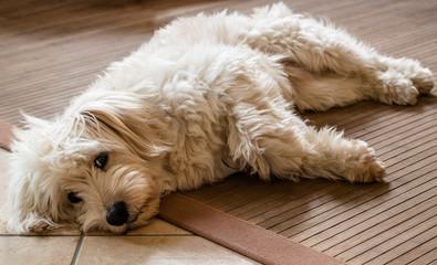 White dog relaxing