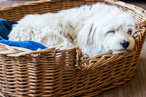 white dog sleeping