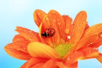 Beautiful ladybird  on flower, close up