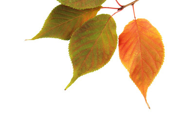 Beautiful autumn leaves on branch isolated on white