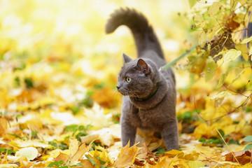 british shorthair cat outdoor walking in harness