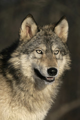 Grey wolf, Canis lupus