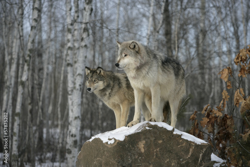 Poster Wolf Grey wolf, Canis lupus