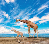 family of giraffes goes against the blue sky