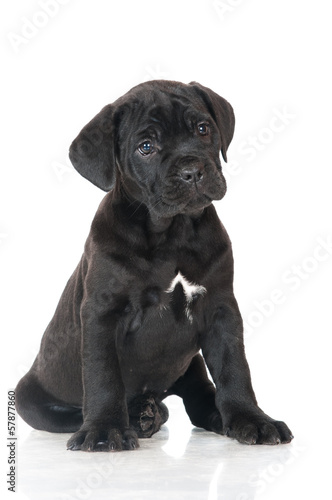 black cane corso puppy portrait