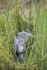 Lone Heron amongst the reeds