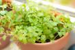 oregano spice plant