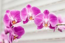 orchidée violette fleur