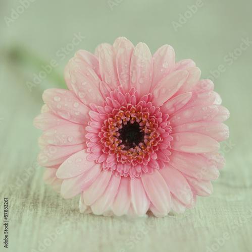 flower Gerber