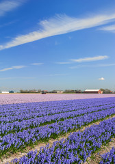 Blumenfeld in Holland nahe Lisse und dem Keukenhof