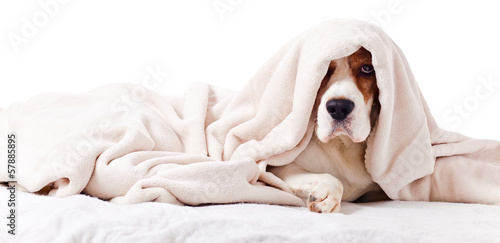 canvas print picture dog under a blanket on white