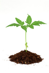 Neem plant growing from soil