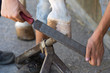 Obrazy na płótnie, fototapety, zdjęcia, fotoobrazy drukowane : maniscalco mentre cambia il ferro ad uno zoccolo