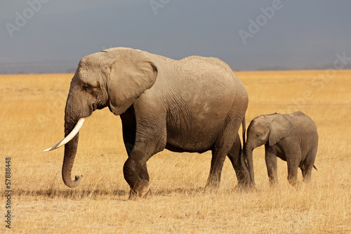 Fotobehang Olifant African elephant with calf, Amboseli National Park