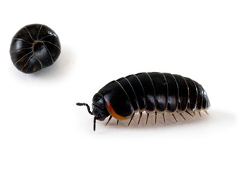 Armadillidium woodlouse - aka pill bug, roly poly, macro